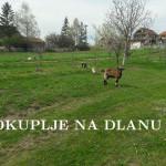 koza_sneza_i_jarici_3.jpg