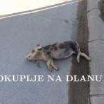 mrtvo_prase.jpg