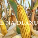 Почела берба кукуруза